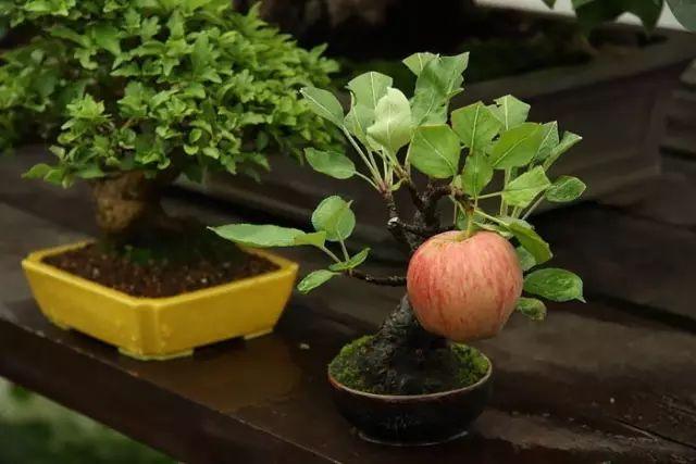 小小苹果树,长出一颗大苹果